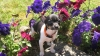Toy Fox Terrier, 3 Months, Black, White and Brown